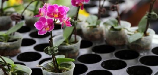 Cultivo de orquídeas em brita